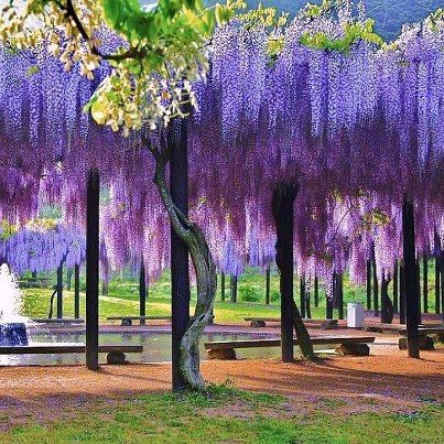 How to germinate dried wisteria seeds wisteria japan Wisteria flower tunnel path in japan