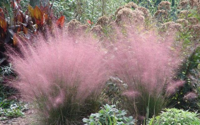 Pink pampas grass without the pampas google search for Coloured ornamental grasses