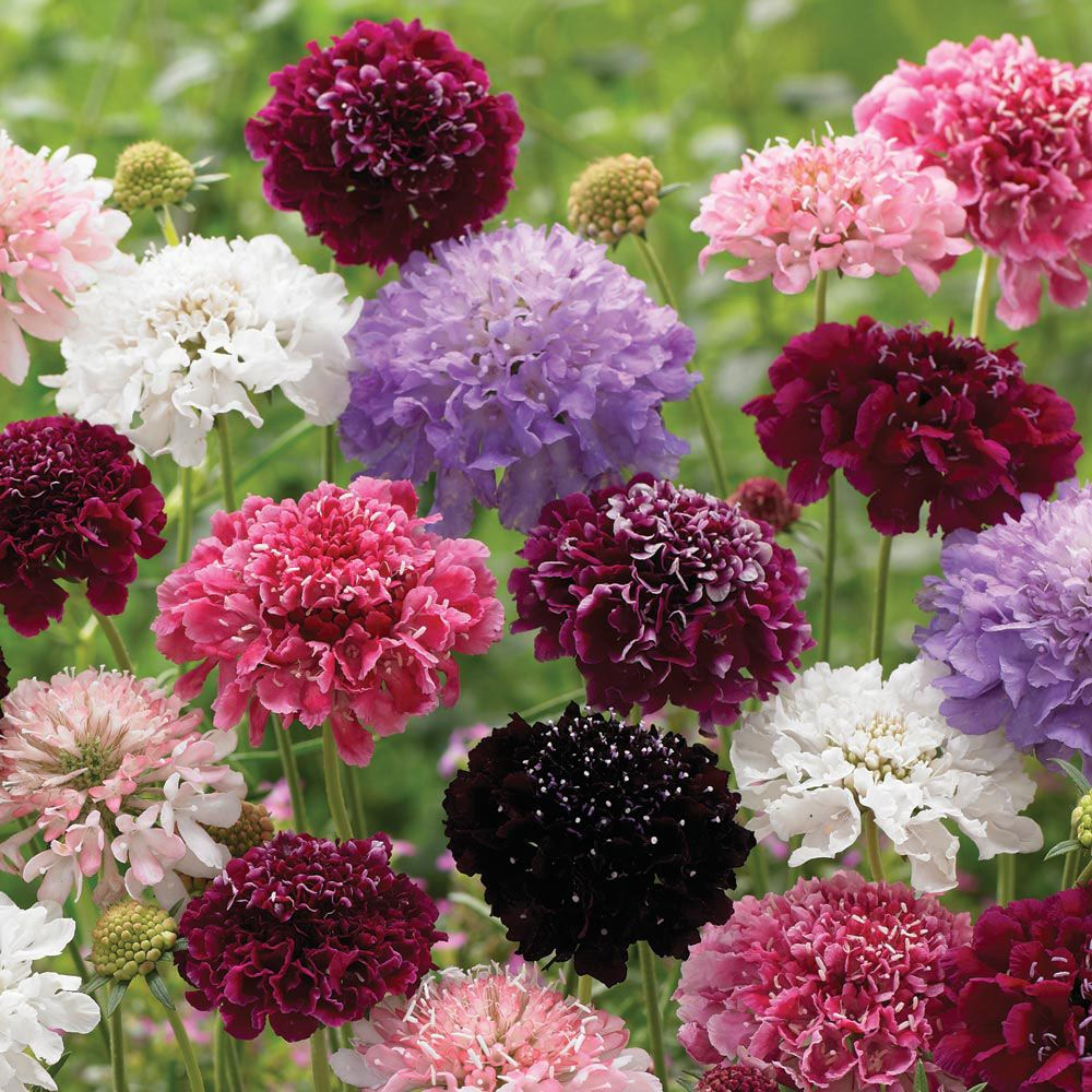 scabious 39 butterfly magnets mixed 39 cottage garden plants van meuwen gloriously gorgeous