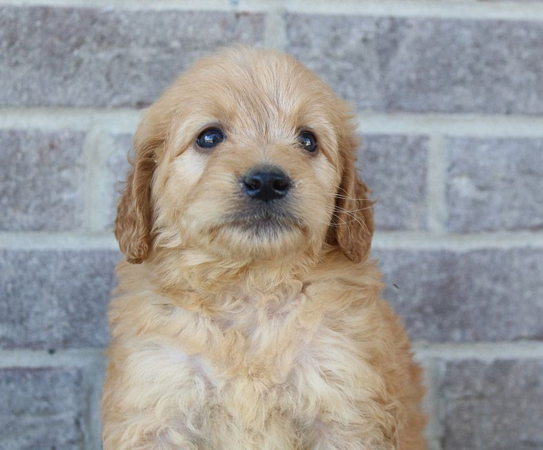 Joyce Pupper Goldendoodles For Sale In Woodburn Indiana