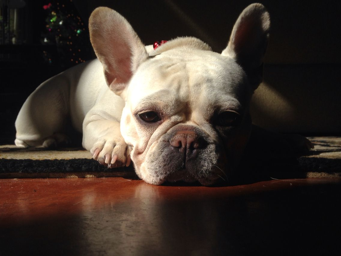 French bulldog sunning on a cold winter day french bulldogs