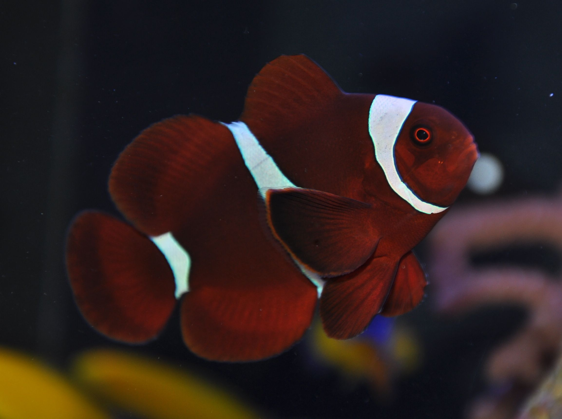 The Maroon Strain Of Clownfish Is Particularly Lovely Clown Fish Marine Fish Clownfish And Sea Anemone