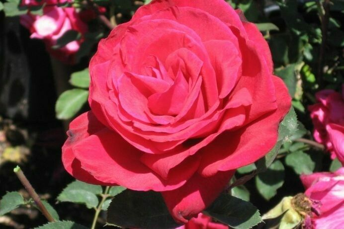 Common Name: Rose Proud Land Description: After much testing, we have found Rosa 'Proud Land' to be one of our all-time favorites of the classic red roses. Everything is just right about it, from the perfectly formed red buds and flowers to its strong, disease resistant foliage. Medium tall, and upright.  #roses #rose #rosegarden #gardenroses #romanticroses #rosebouquet #springflowers #roseblooms #roseflowers #bloomingroses