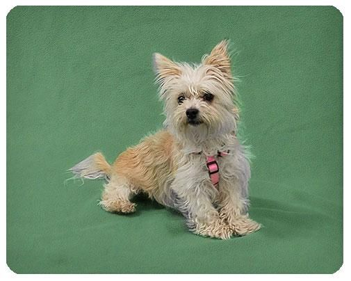 Adopt Chantilly Adopted On Cairn Terrier Mix Terrier Mix Dogs Dogs