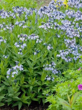 Amsonia Blue Ice Blue Star Flower Garden Plans Plants Perennials