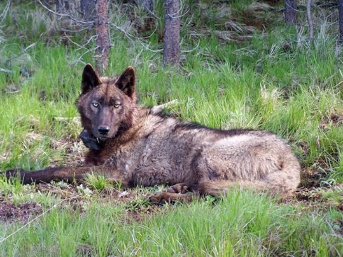 Wolves are traveling from Oregon to Central California – IOTW Report