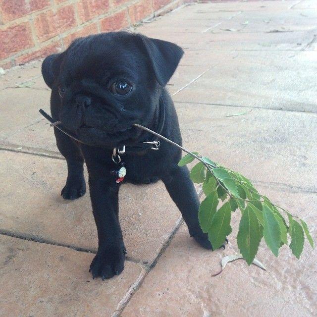 Pin By Cristin St John On Pug Love Baby Pugs Cute Pugs Black Pug Puppies