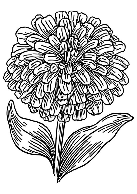 Coloring Page Zinnia Zinnias Flower Coloring Pages Coloring Pages