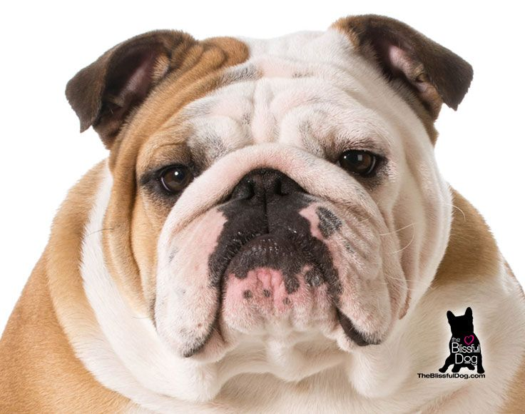What A Face Did You Know Bulldogs Were Often Called The Sourmug
