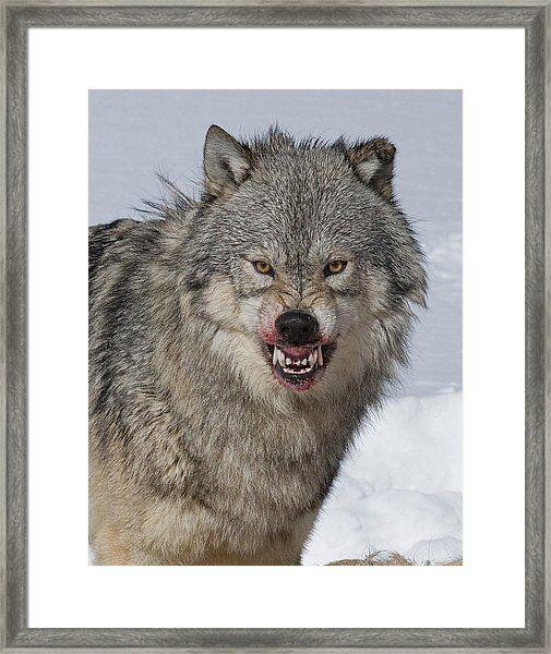 Wolf Guarding Kill by Howard Knauer