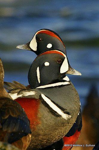 Harlequin Ducks Pet Birds Nature Birds Duck Breeds