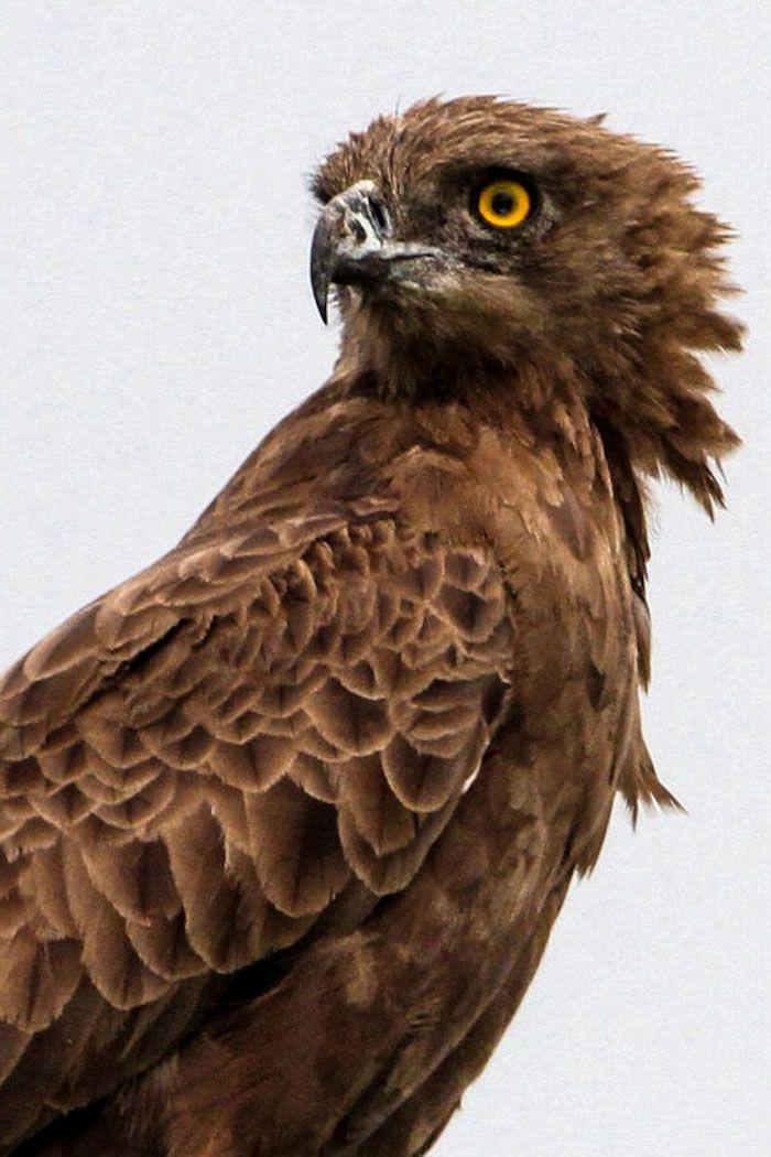 Brown Snake Eagle Kruger Park, South Africa Beautiful