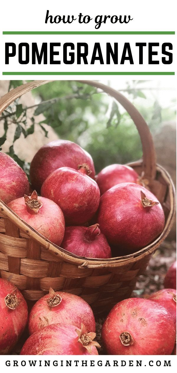 How to Grow Pomegranates Pomegranate growing, Fruit