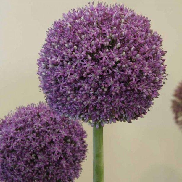 Ail d 39 ornement l 39 allium ambassador est une vari t d 39 ail d 39 ornement grosses fleurs sph riques - Variete de sapin d ornement ...