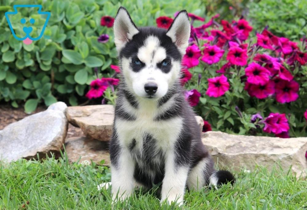 Hickory Siberian Husky Puppy For Sale Keystone Puppies Husky Puppy Husky Puppies For Sale Cute Baby Puppies