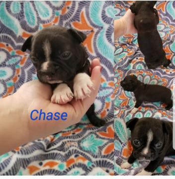 Boston Terrier puppy for sale in GREENVILLE, SC. ADN58345