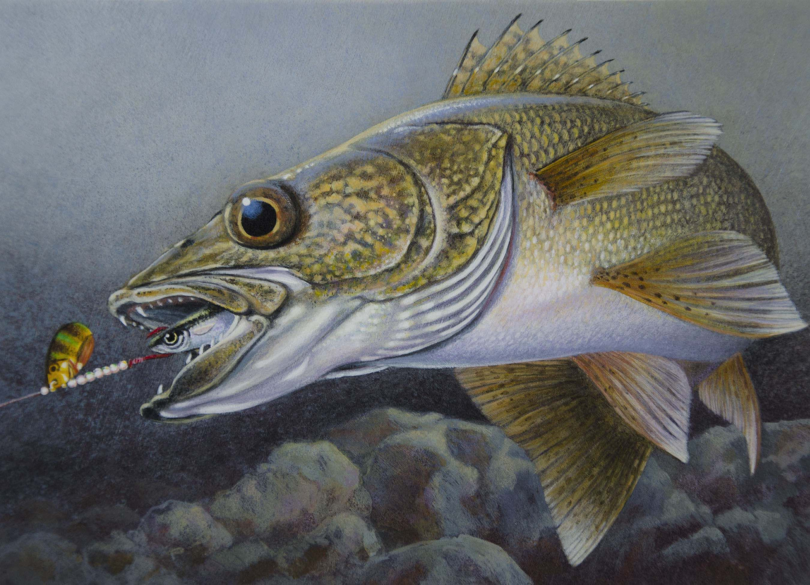 Walleye drawings painting of a walleye chasing a spinner for Walleye fishing minnesota