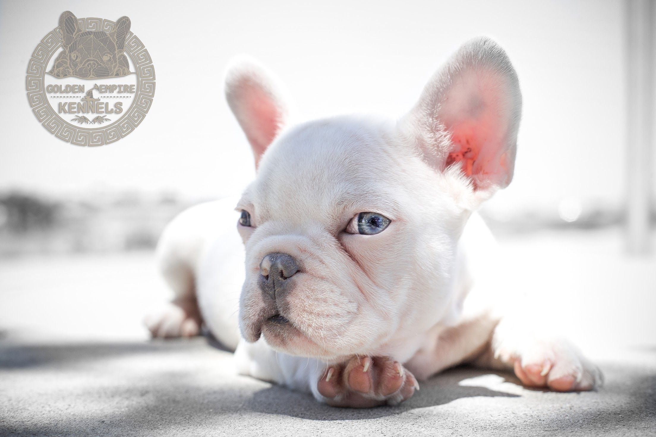 Rocko The Platinum Blue French Bulldog French Bulldog Bulldog French Bulldog Blue