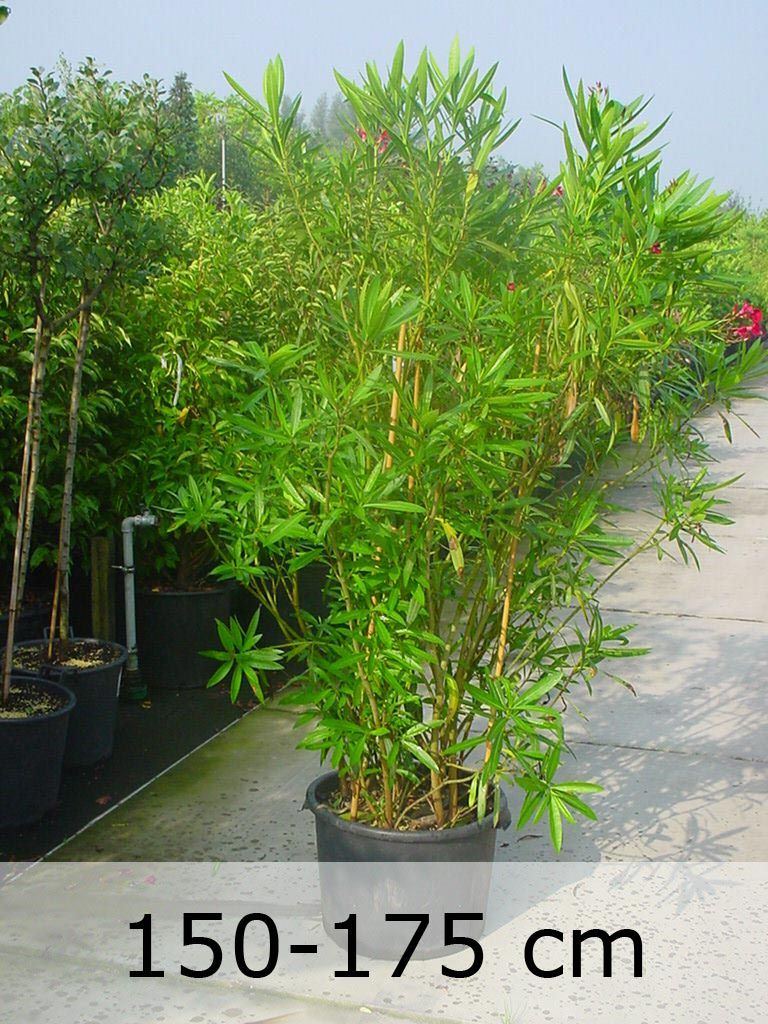 Nerium Oleander Oleander kompakter Strauch mit auffällig
