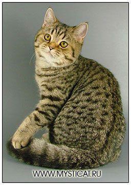 British Shorthair Cat Black Spotted