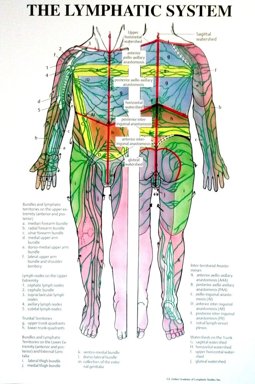 Individual Lymphatic System Poster Full Body Front And Back Lymphatic System Lymphatic System Poster Lymphatic