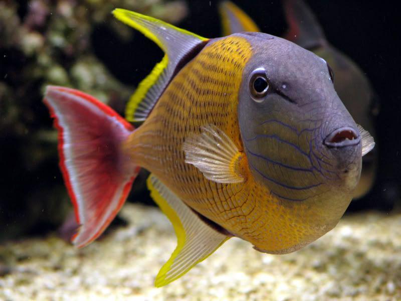 Rare Tropical Saltwater Fish Rare Reef Safe ...