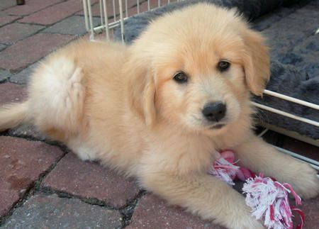 And I Want One Of These Babies Too Golden Retriever Aka Bentley