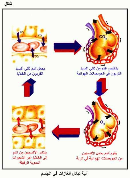 وظيفة الرئتين في التبادل الغازي بين الجسم والمحيط الموسوعة المدرسية Blog Posts Blog