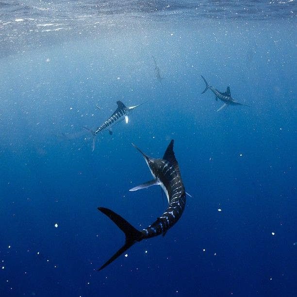 White Marlin DJ Struntz | Salt water fish, Marlin fishing ...
