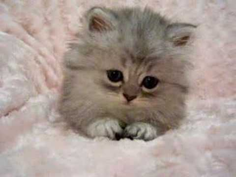 Tiger Lily Persian Kittens For Sale Youtube Kittens Cutest