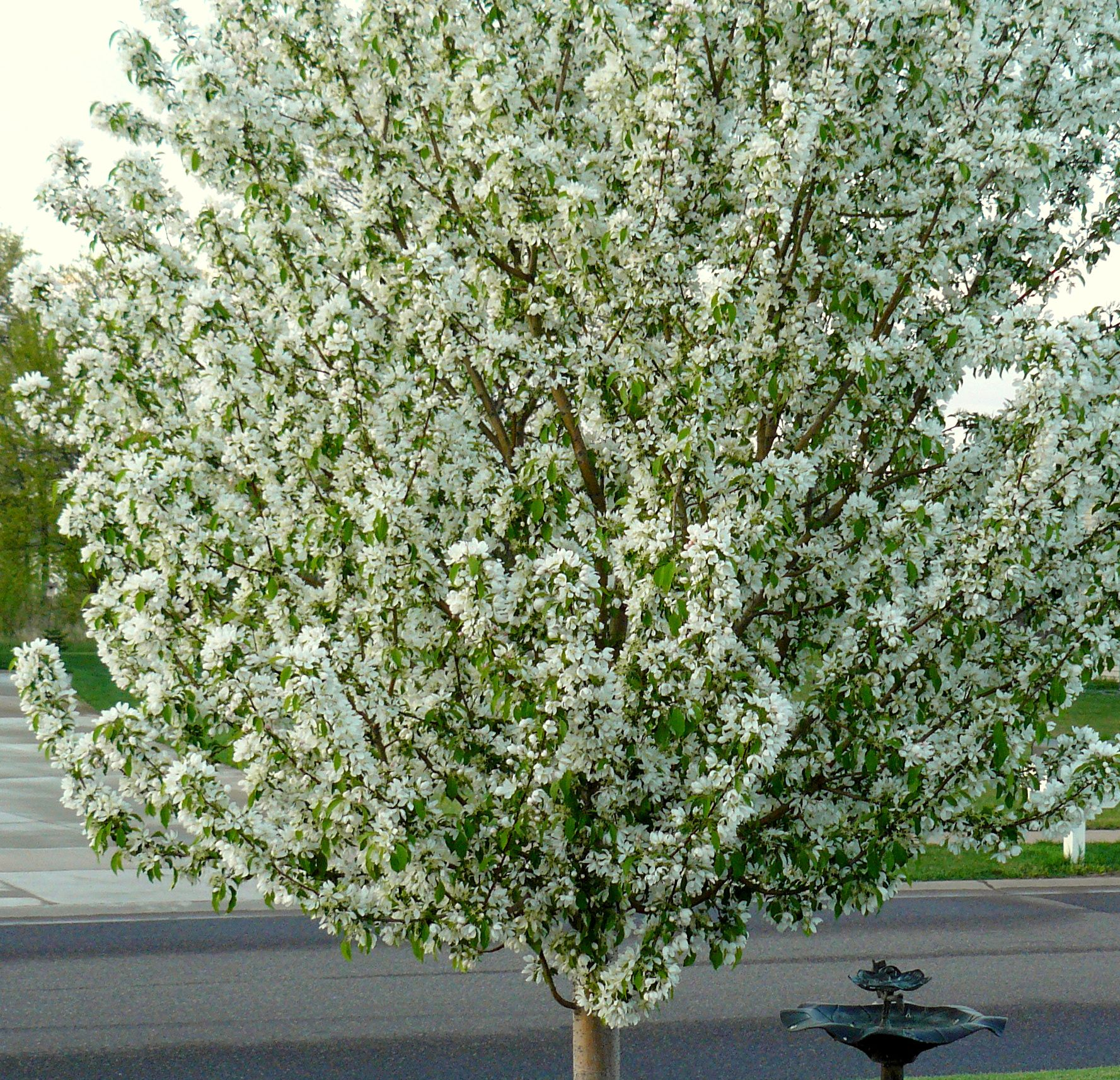 Spring Snow Fruitless White Flowering Crab Tree Absolutely