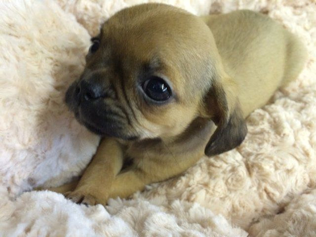 Pugalier Puppy Available For Sale Puppy Mix Hybrid Dogs