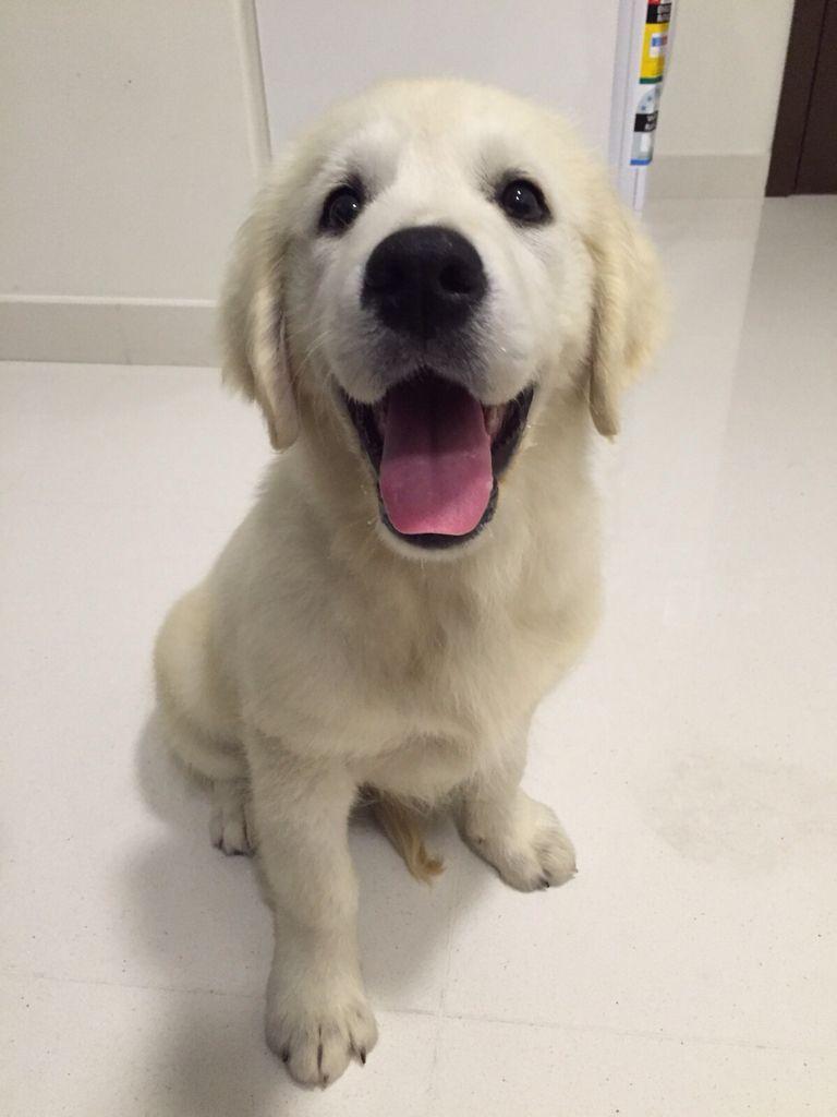 Boo Golden Retriever Pawshake Singapore Labradorpuppysingapore