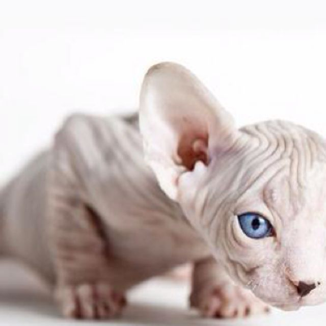 mystical creature - sphynx cat