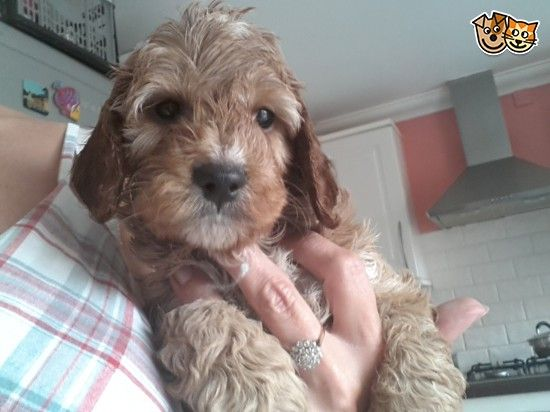 Red Apricot F1 Cockapoo Puppys Pra Clear Cockapoo Very Cute