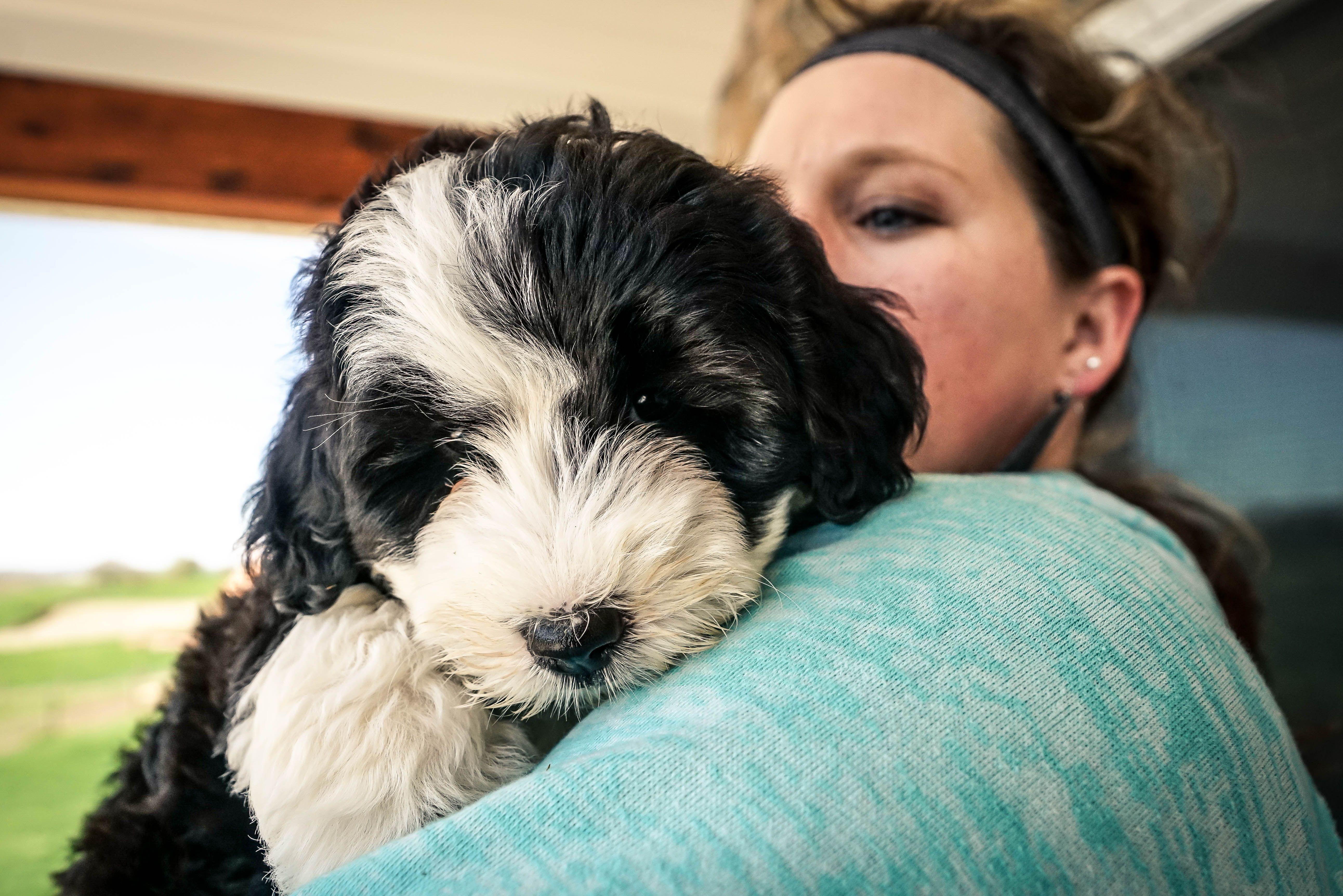 Meet Gracie Mini Sheepadoodle Puppy For Sale In Sugarcreek Ohio Sheepadoodle Sheepadoodlepuppies Ohio Sheepadoodle Puppy Puppies For Sale Sheepadoodle