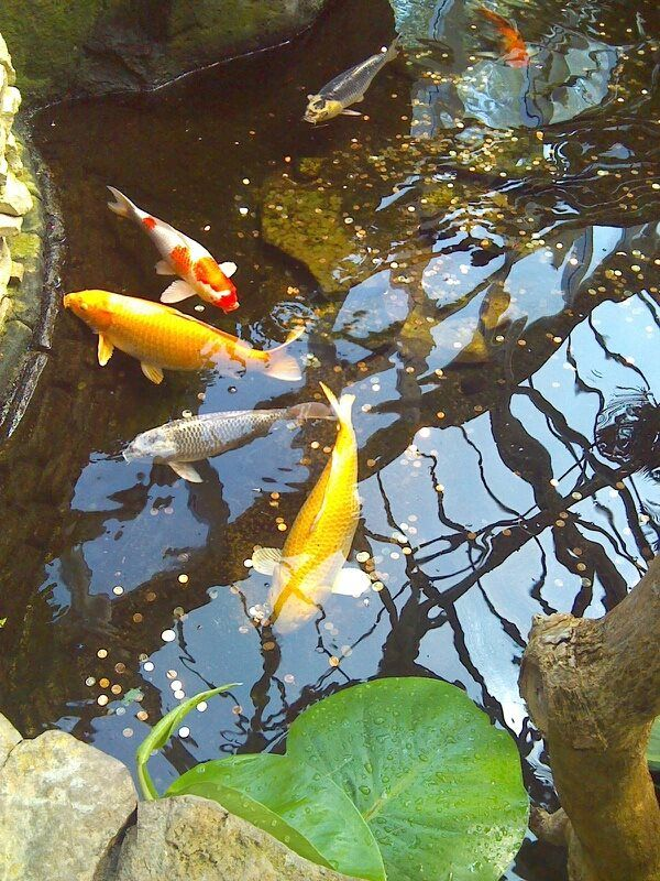 Koi fish pond at franklin park conservatory tropical for Exotic koi fish