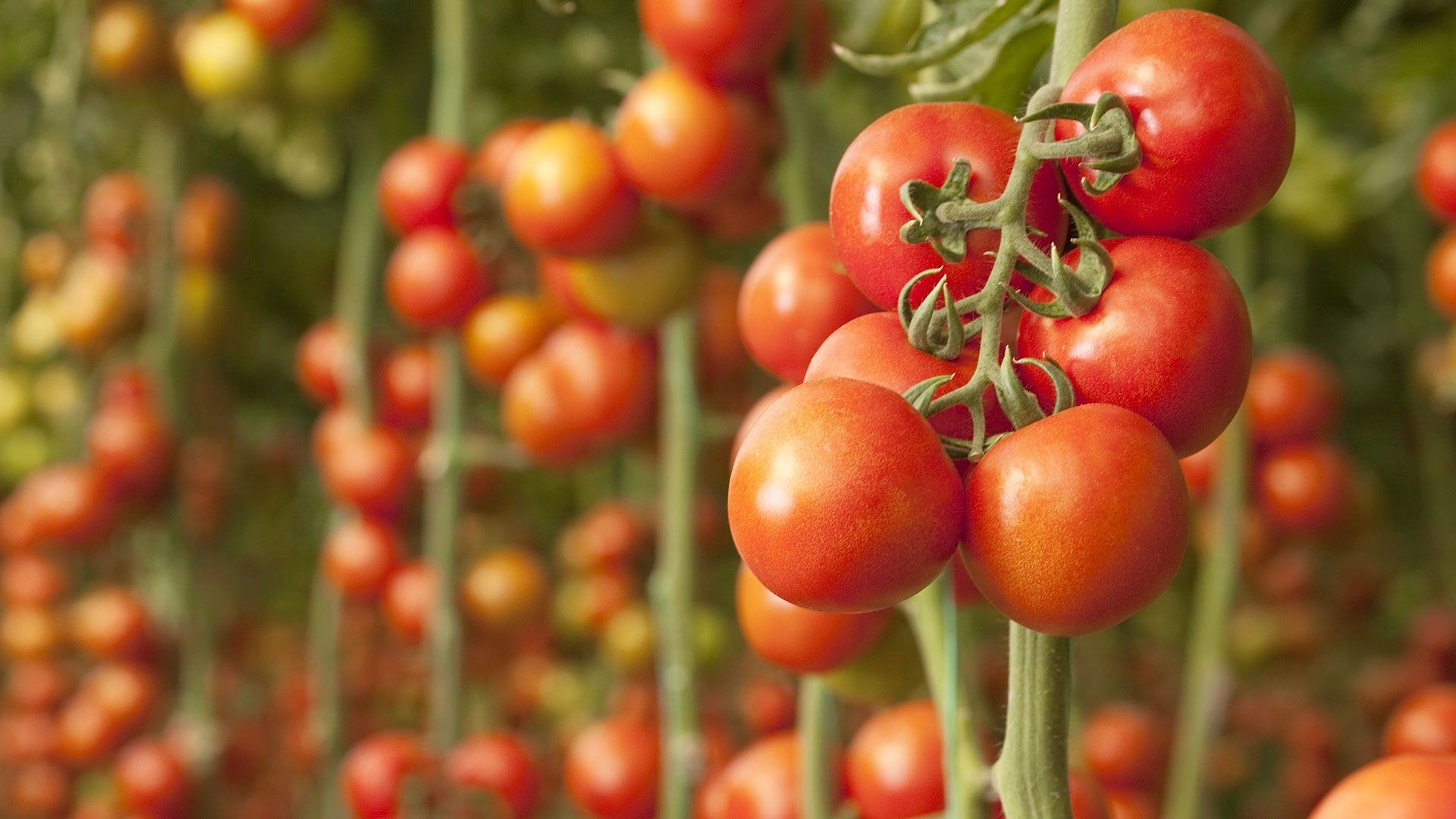Picking rules for tomato seedlings