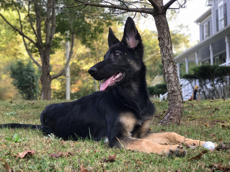 German Shepherd Dog Dog For Adoption In Baltimore Md Adn 690266