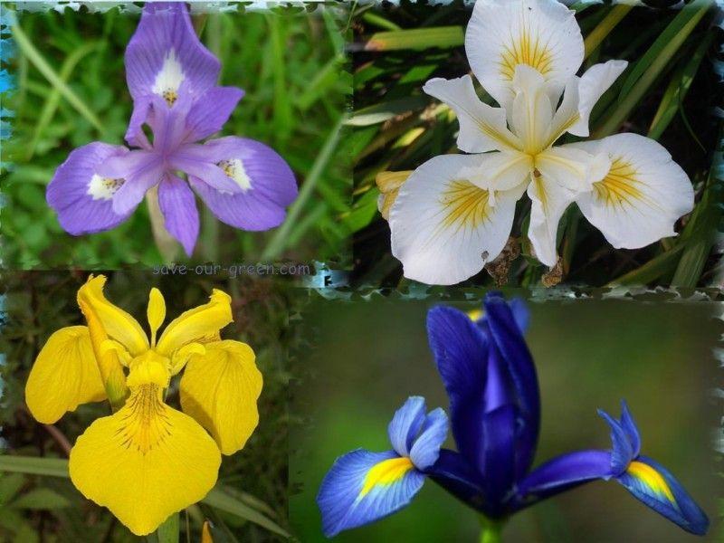 Interesting Iris Flower Iris Flowers Flowers Beautiful Flowers