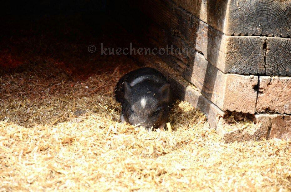 Hobbyfotografie  Mehr davon in der Gallery auf meinem Blog www.kuechencottage.de  #schnapschuss #witzig #tierfoto #süß #cute #sweet #funny #lustig #süddeutschland #hegau #lochmühle #ferkel