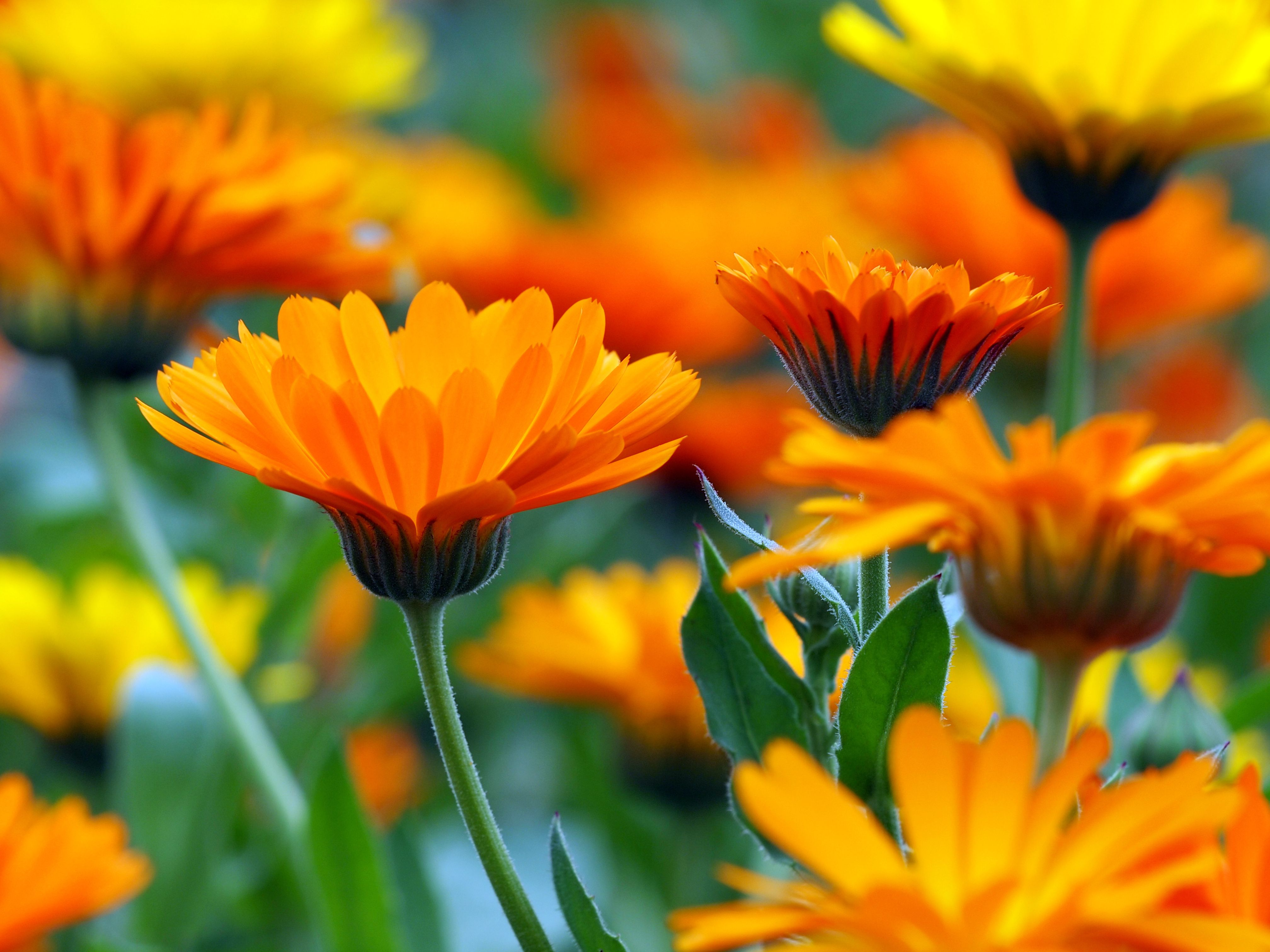 Ingredient We Love Calendula Calendula Flower Calendula Flowers