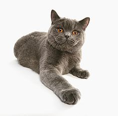A British Shorthair A Stocky Breed Which Makes Them Almost Look Like The Boxer Of The Cat World Short Legs But F Cat Breeds British Shorthair Cats Cat Fleas