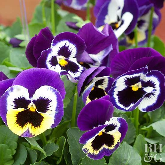 Pansies Are A Favorite Flower Of Gardeners Everywhere They Are Easy To Grow Easy To Pair With Other Flowers Pansies Container Gardening Flowers Annual Plants