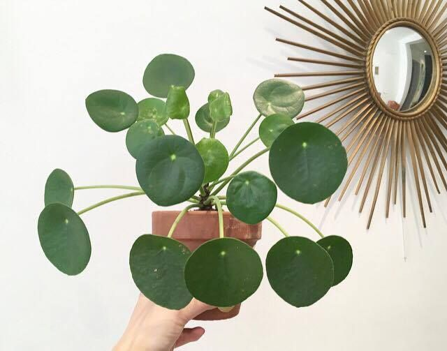 tout savoir sur le pilea peperomioides sweety oxalis ev i ek pinterest plantes plantes. Black Bedroom Furniture Sets. Home Design Ideas