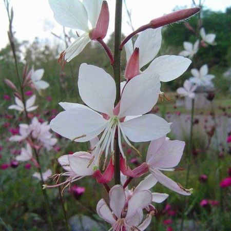 Vivace floraison estivale blanche id ale en massif 1m for Fleurs blanches vivaces