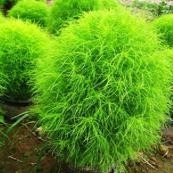 100 Kochia Scoparia Grass Plants Seeds | Home & Garden | Pinterest ...