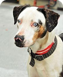 Adopt Female Purebred Catahoula Leopard Dog Eliza Lifeline Rescue Is A 14 Month Old
