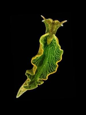 READY FOR A CRAZY FACT?!!?  This sea slug (Elysia chlorotics) can eat kelp and other plants and filter out the chloroplasts to their own cells! The chloroplasts then actively turn sunlight into energy for up to a YEAR!!! PHOTOSYNTHESIZING ANIMALS!!!! Alright, that's all lololol no one cares :P