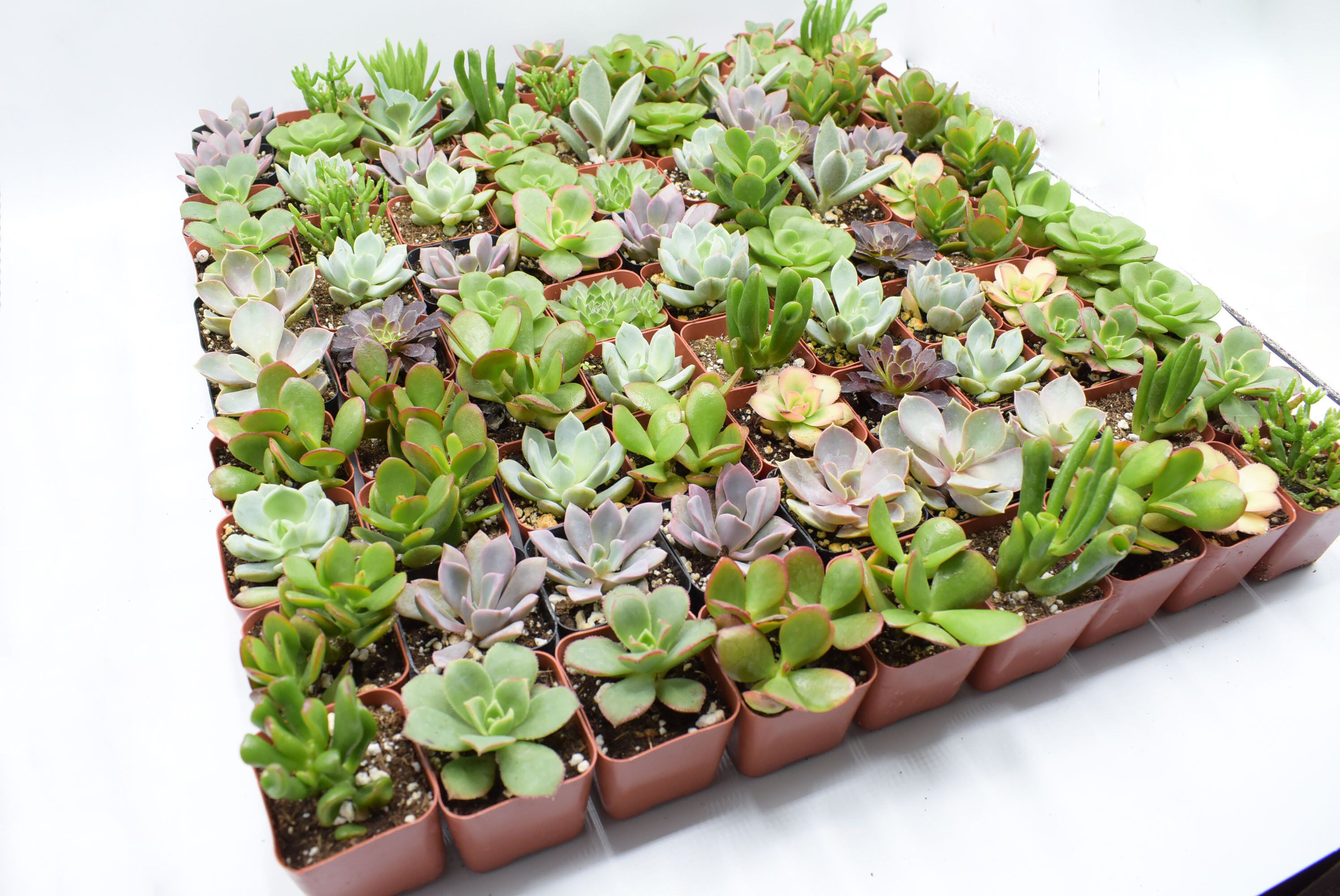 """81 Wedding collection Succulents in 2"""" Pots Wedding"""
